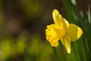Yellow daffodils closeup on blurred background photo