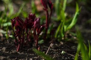 Primer plano de plantas rojas sobre fondo borroso foto