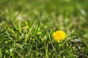 Yellow dandelions closeup on blurred background photo
