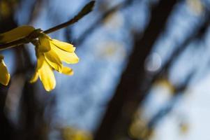 Primeras flores amarillas de forsythia closeup foto