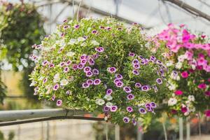 flores colgantes moradas foto