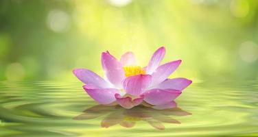Blooming pink lotus flower isolated on sparkle background photo