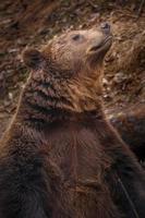 Portrait of Brown bear photo
