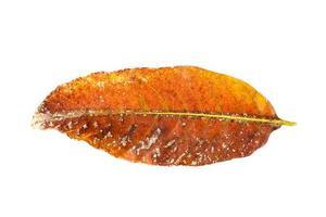 Dry brown leaf photo