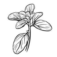una ramita de albahaca aislado en un fondo blanco. La albahaca es un verde aromático delicioso para ensaladas y alimentos saludables. Ilustración dibujada a mano en el estilo de dibujo. vector