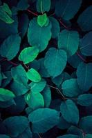 blue and green plant leaves blue background photo