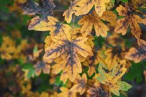 hojas de los árboles amarillos en la temporada de otoño foto