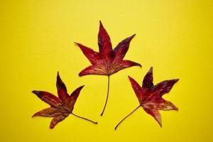 red maple leaves on the yellow background in autumn season photo