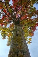 árboles con hojas rojas en la temporada de otoño foto
