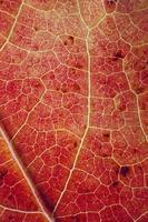 hoja de arce roja en la temporada de otoño fondo rojo foto