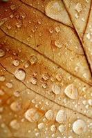 Gotas sobre la hoja marrón en días lluviosos. foto