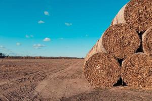 Huge straw piles of hay rolled in bales on a harvested field against a blue sky photo