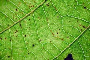 venas de hojas verdes fondo verde foto