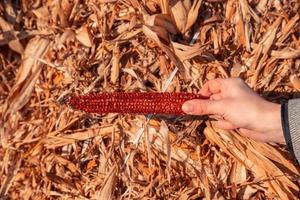 La mano sostiene el columpio vacío de maíz rojo en el fondo de heno y cielo foto