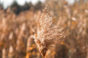 Dry wheat grass field background photo