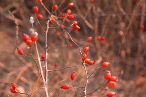 Imagen macro de una rosa mosqueta en otoño foto