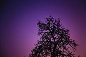 Tree silhouette close-up in the dusk night sky photo