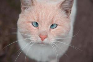 White and orange cat with blue eyes looking at camera photo