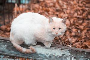 A sad cat with an orange white color sits on a fence photo