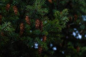 Cones on the branches of a large spruce photo