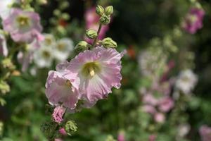 hibisco u otras flores de campo belleza en la naturaleza foto
