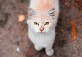 White and orange cat looking at camera photo