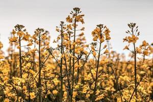 Blooming rapeseed field photo