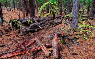 Ponderosa Debris a forest log scene in the woods east of Black Butte near Sisters OR photo
