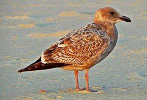 Evening Gull Pose at Roads End State Park Lincoln City OR photo