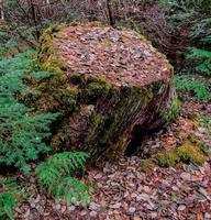Autumn Stump at Riverside Campground along the North Santiam River near Idanha OR photo