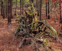 Tree Root Formation in the woods by Indian Ford Creek near Sisters OR photo