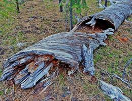 Rotting Ponderosa Log in the woods along FR800 south of Sisters OR photo