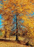 Yellow Aspen an autumn scene in November at Detroit Lake State Park Detroit OR photo