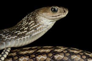 Keeled Rat Snake  Ptyas carinata photo