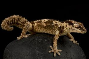 Rough thick toed gecko   Pachydactylus rugosas photo
