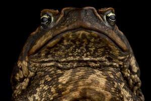 Cane toad   Rhinella marina photo