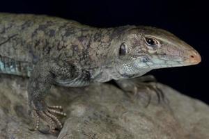 Saint Martin ground lizard  Ameiva plei photo