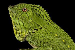 Abbotts Anglehead Lizard Gonocephalus abbotti photo