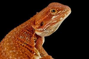 Bearded dragon  Pogona vitticeps photo