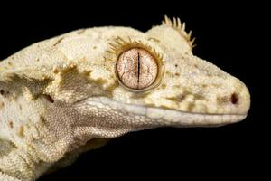 Lilly white crested gecko  Correlophus ciliatus photo