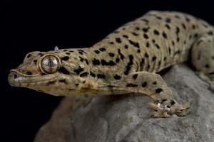 Saint Martin thick tailed gecko   Thecadactylus oskrobapreinorum photo