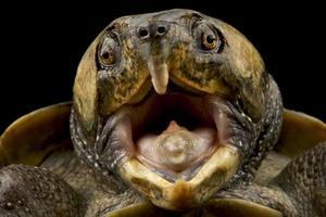 big headed turtle Platysternon megacephalum photo