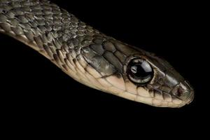 white bellied rat snake  Ptyas fusca photo