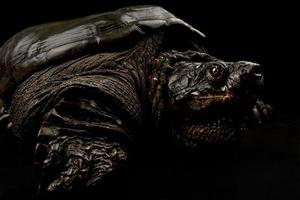 Common snapping turtle  Chelydra serpentina photo