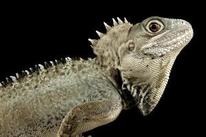 Kalam forest dragon Hypsilurus nigrigularis photo