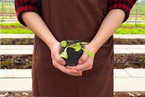 Manos de mujer sosteniendo una plántula de planta para crecer en el lecho de verduras en la granja foto
