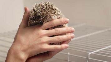 A woman holds a hedgehog pet in her hands video