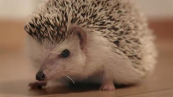 Pet hedgehog in the middle of the room video