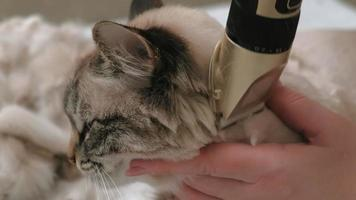 Siamese cat hair care with an electric machine, close-up video