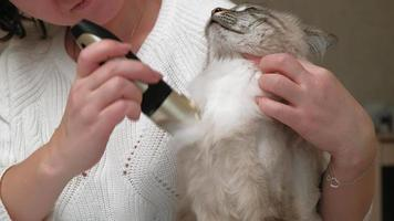 Siamese cat hair care with an electric machine video